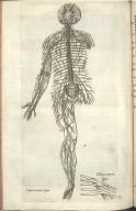 Septima Nervorem Figura, Octava nervorum figura