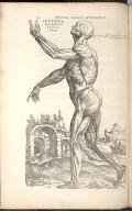 Secunda Musculorum Tabula