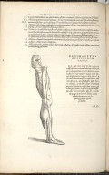 Decima Sexta Musculorum Tabula