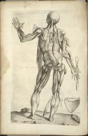 Undecima Musculorum Tabula