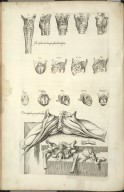 Musculorum Laringis quatordecim figure [and] De Musculis peni peculiaribus