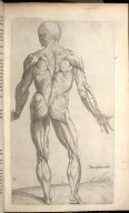 Nona Musculorum Tabula