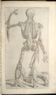 Decima Tertia Musculorum Tabula