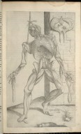 Septima Musculorum Tabula
