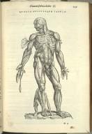 Quarta Musculorum Tabula