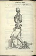 Decimaquarta Musculorum Tabula