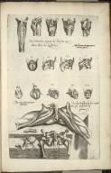 Musculorum laringis quatuordecim figure [and] De musculis peni peculiaribus