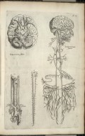 Prima nervorum figura; Secunda nervorum figura