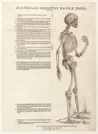 Lateralis skeleton figurae designatio