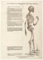 Lateralis skeleton figurae designatio