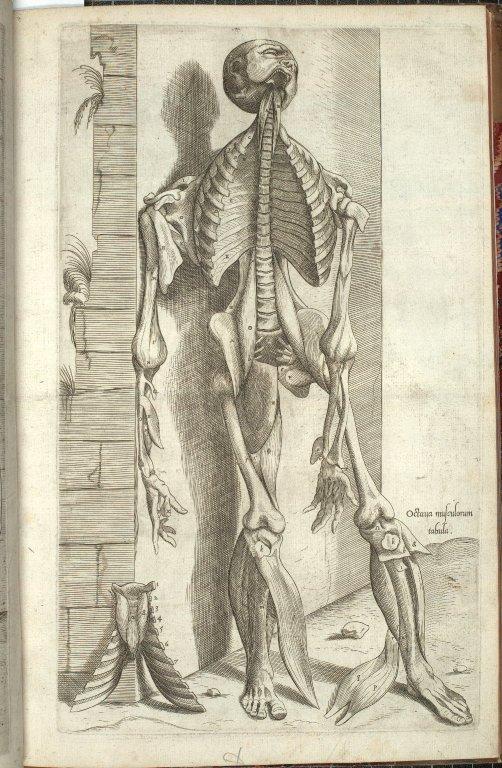 Octava Musculorum Tabula