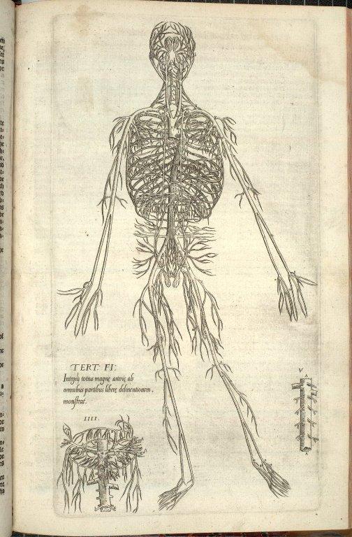 Tert: Fi: Integra totius magnae arteriae ab omnibus partibus libere delineationem monstrat