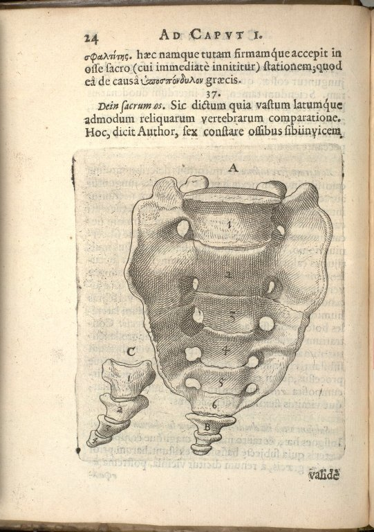[bones of the sacrum and the coccyx]