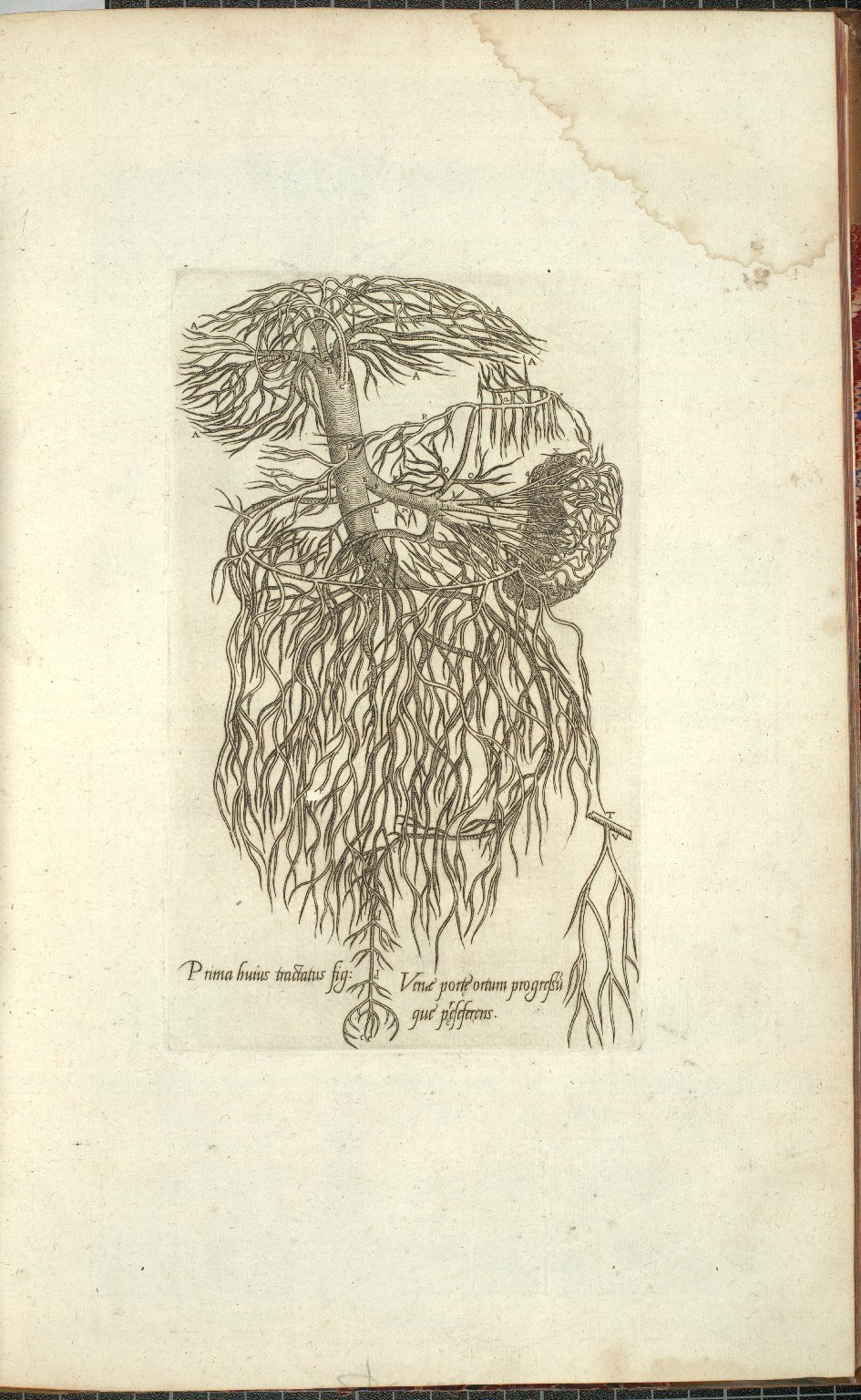 Prima huius tractatus fig: Venae porte ortum progressu que preseferens