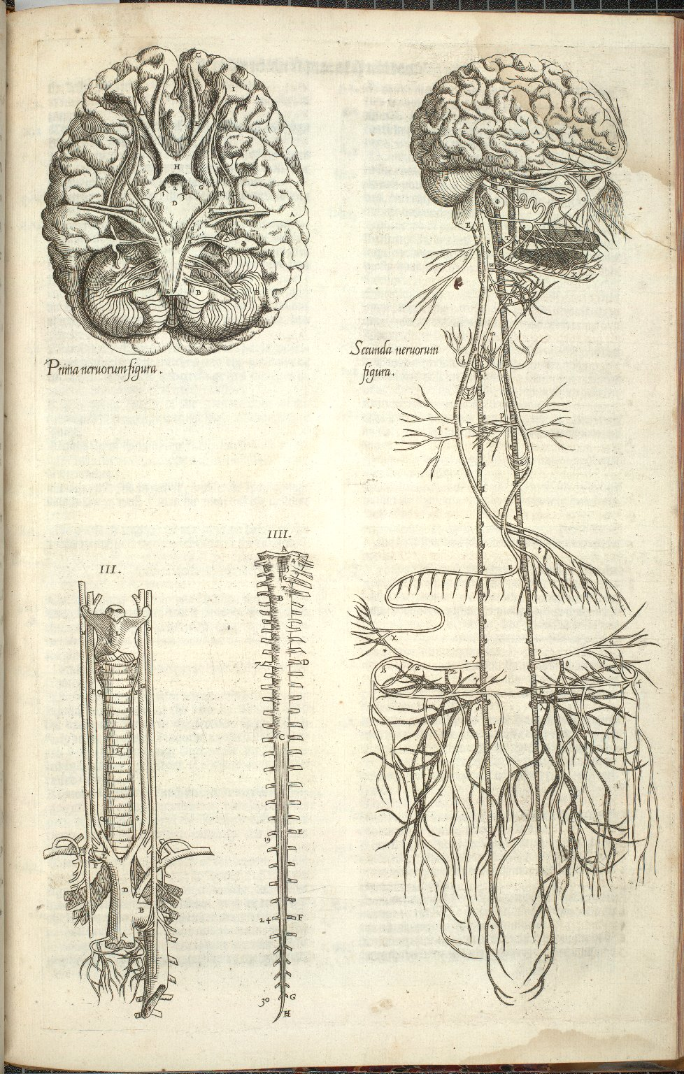 Prima Nervorem Figura, Secunda Nervorum Figura