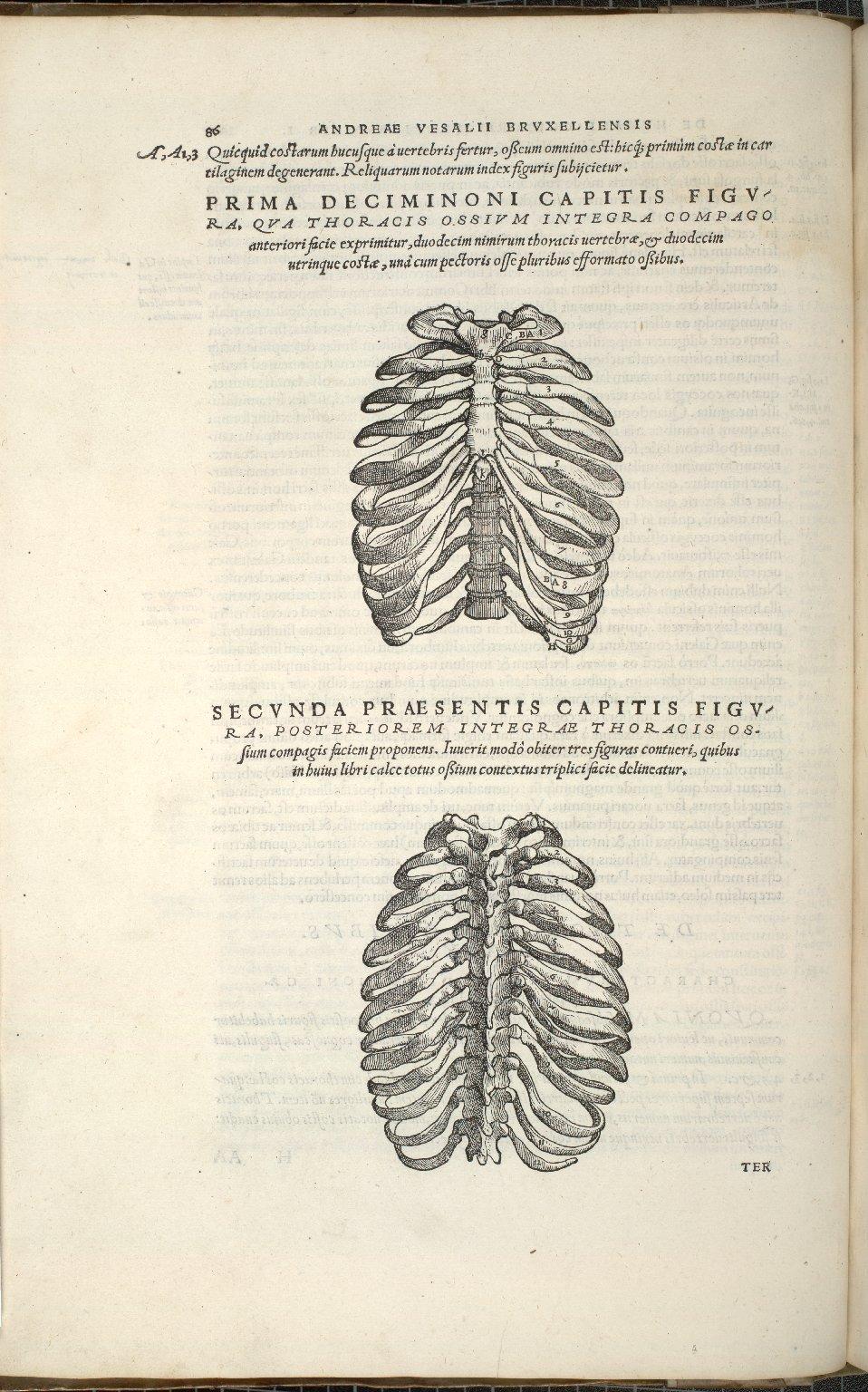 De Thoracis Ossium Integra. Caput XIX. Fig.I-II