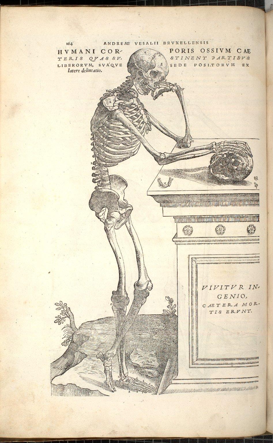 Humani Corporis Ossium Caeteris Quas Sustinent Partibus Liberorum Suaquesede Positorum Ex latere delineatio
