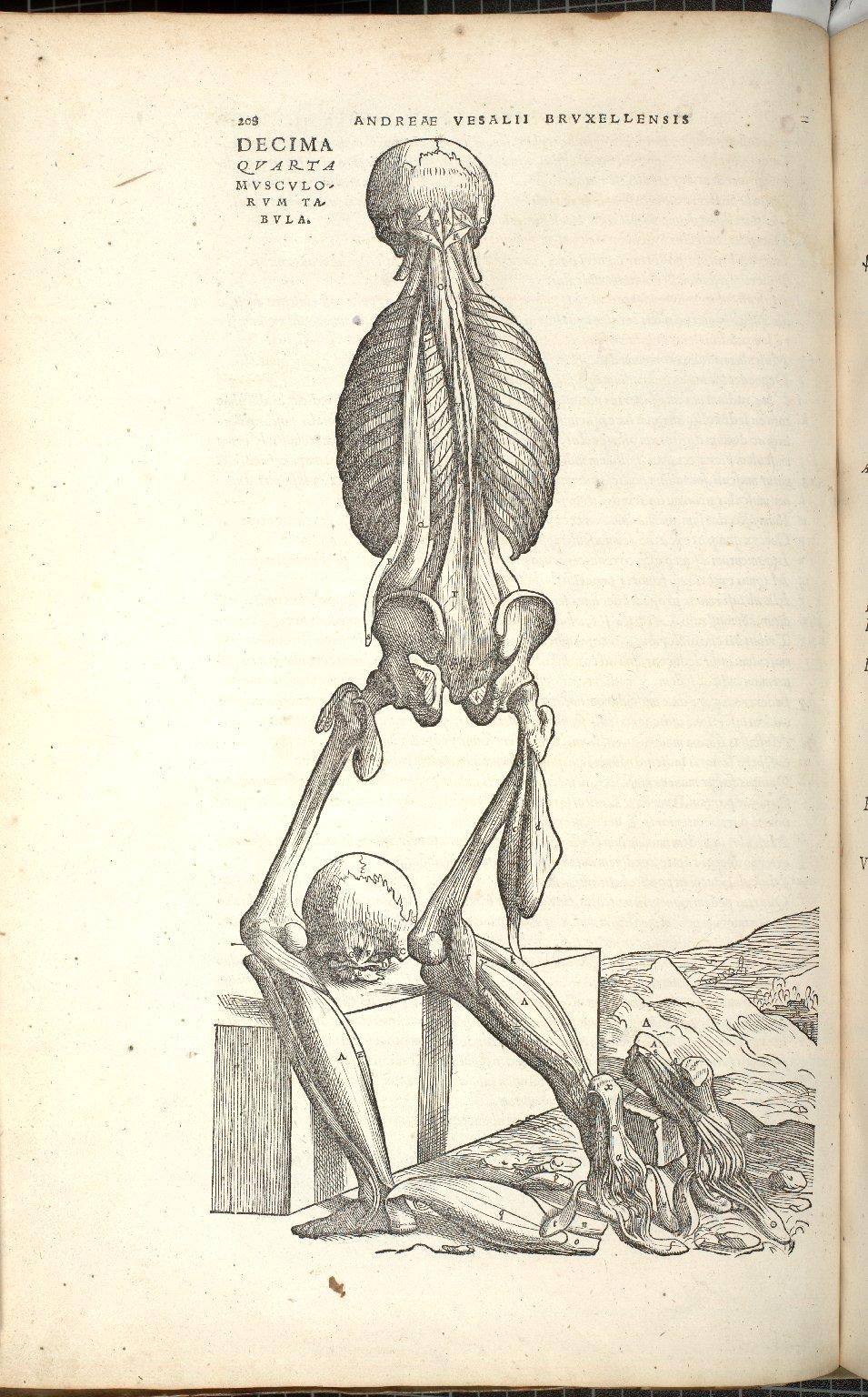 Decima Quarta Musculorum Tabula