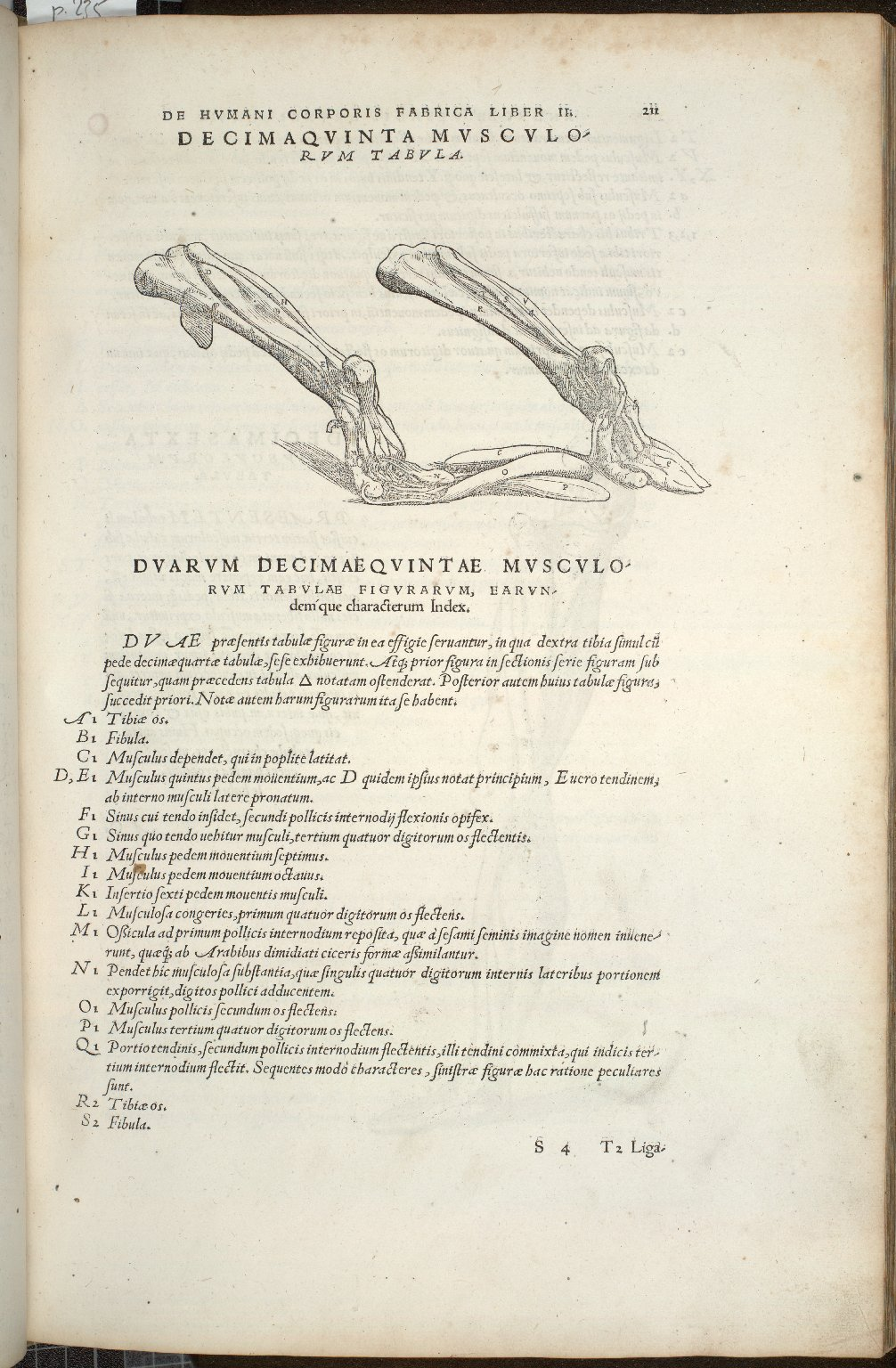 Decima Quinta Musculorum Tabula