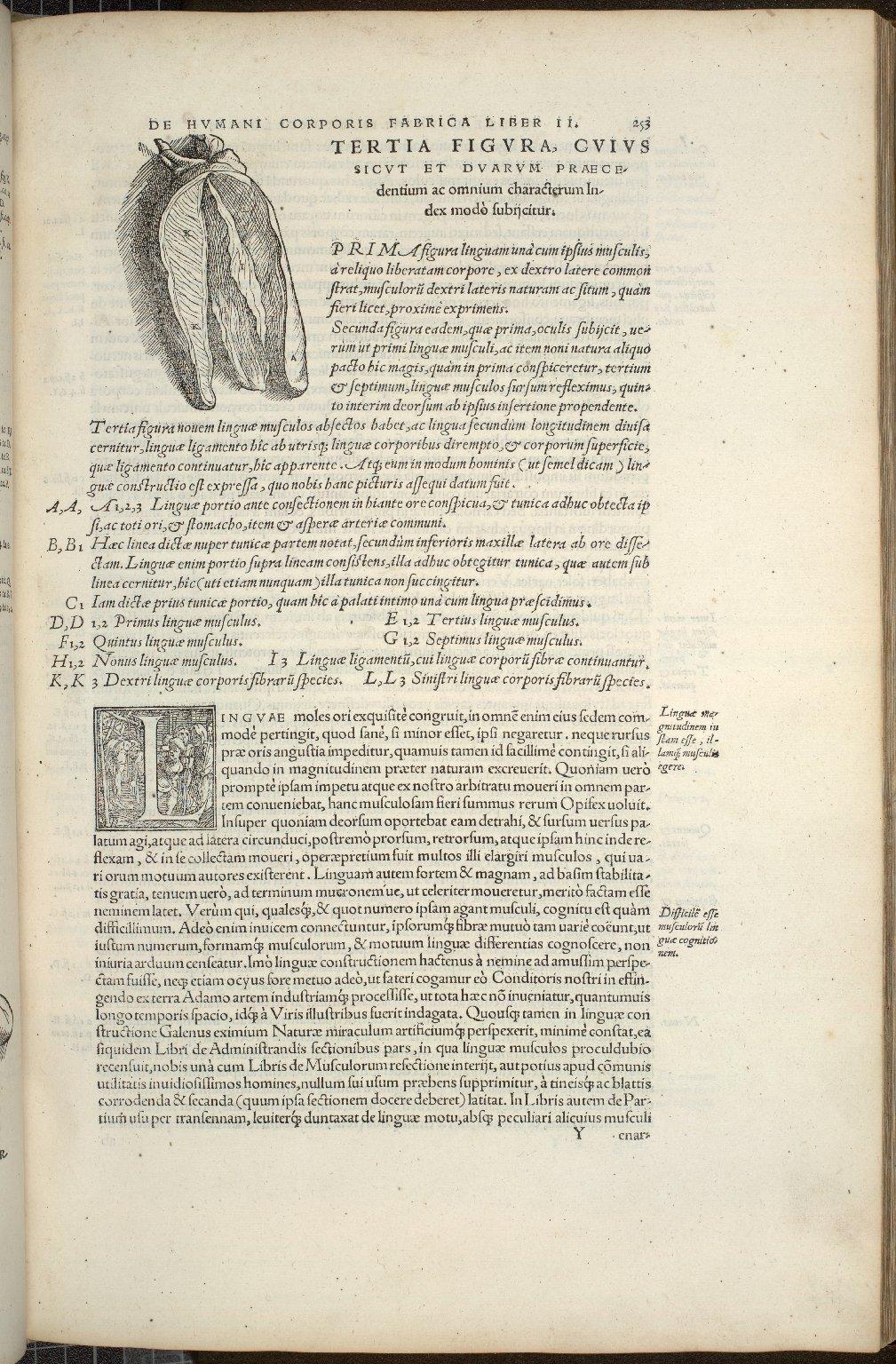 De Linguae Musculis, Caput XIX. Fig.III