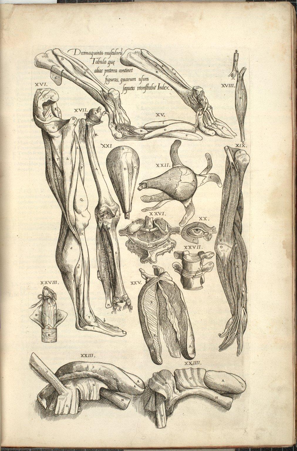 Decimaquinta Musculoru, Tabula que, alias preterea continet, figuras, quarum usum, segueus monstrahit Index.