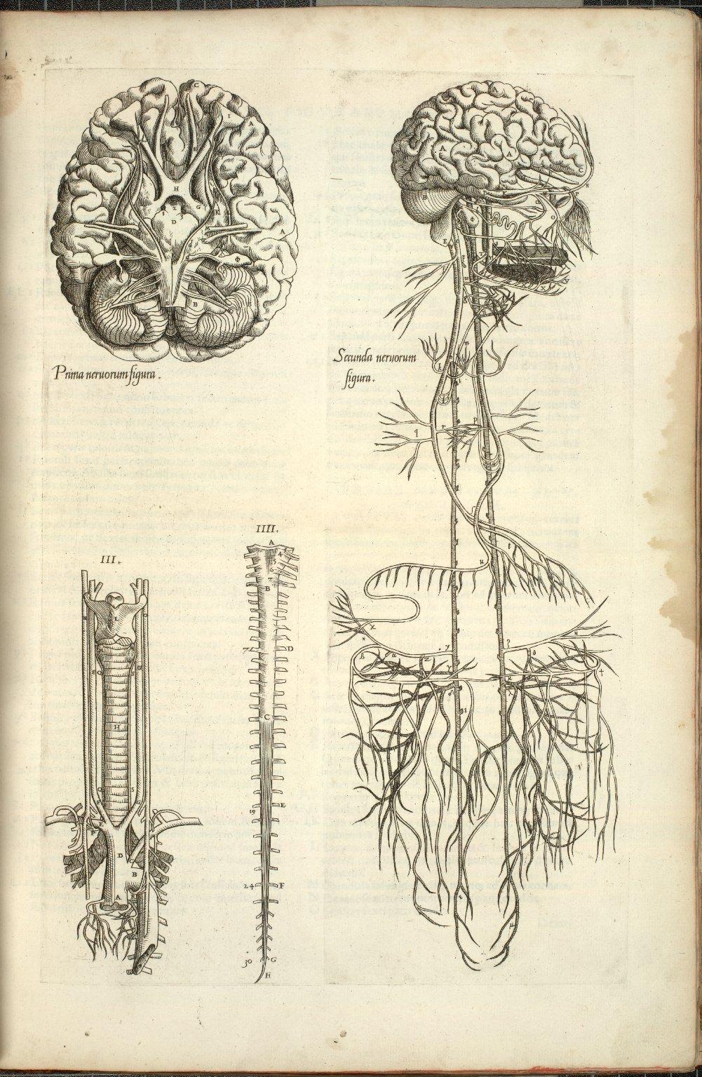 Prima nervorum figura, Secunda nervorem figura, III, IIII