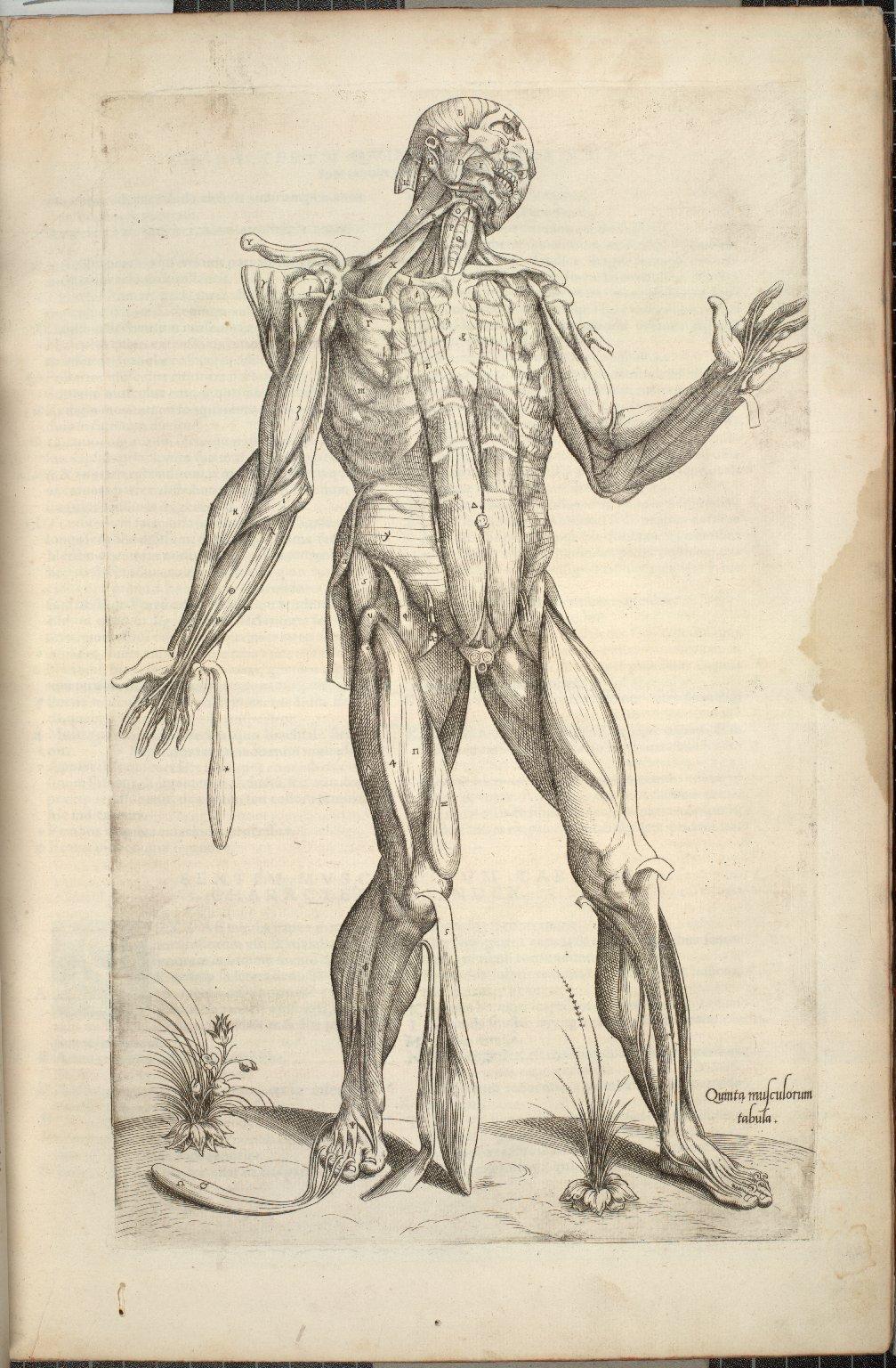 Quinta Musculorum Tabula