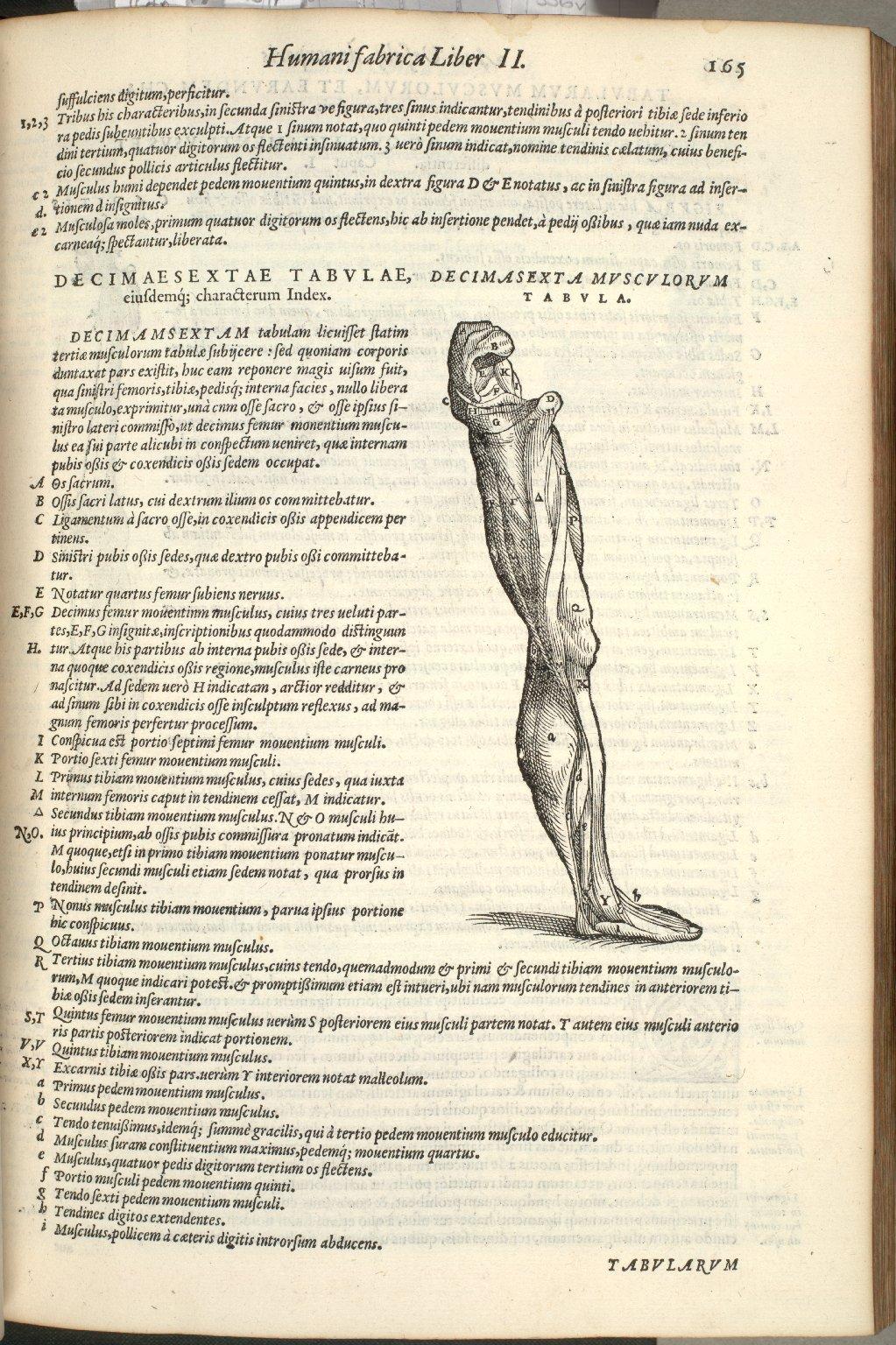 Decimasexta Musculorum Tabula