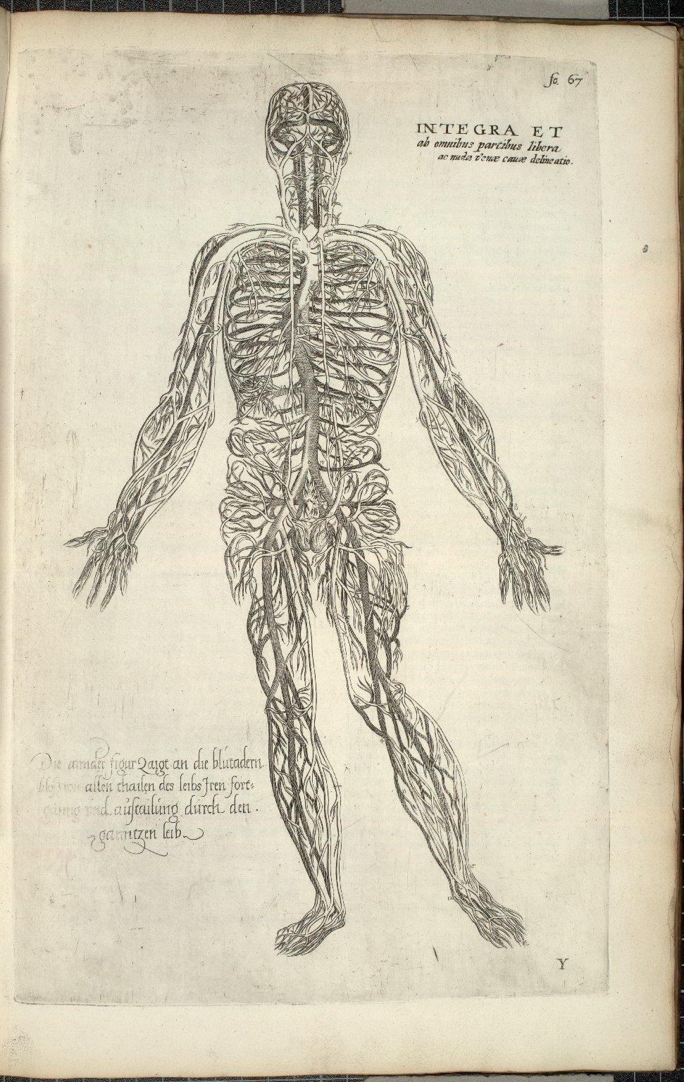 Integra et ab omnibus partibus libera ac nuda venae cavae delineationem eiusque in universum corpus processum ac distributione