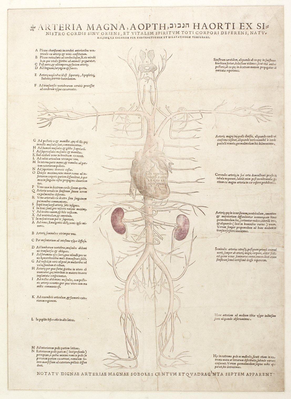 Arteria magna