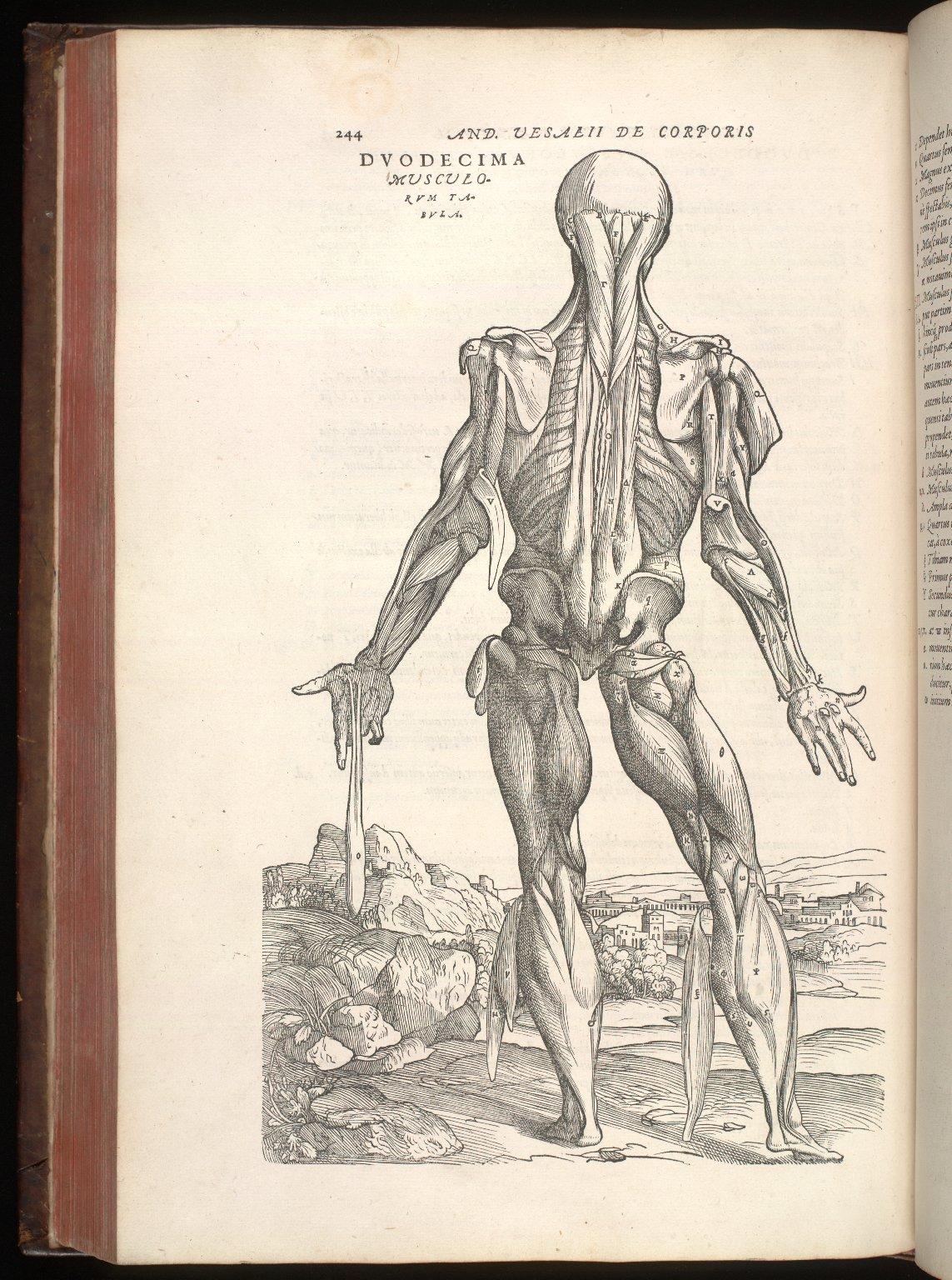 Duodecima musculorum tabula
